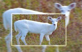 Assam: Very rare deer seen in Kaziranga